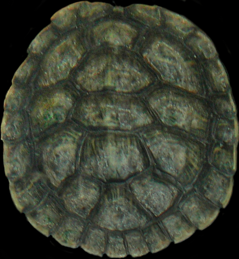 Turtle Shell Vector Jpeg Turtle Shell Texture